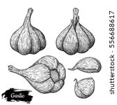 hand drawn sketch style garlic. ... | Shutterstock .eps vector #556688617