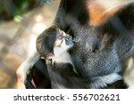 Baby Monkey Drinking Milk  ...