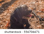 Maltipoo Dog With Autumn Leaves.