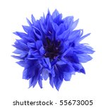 Stock photo one blue flower isolated on white background close up studio photography 55673005