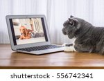 Stock photo the gray british shorthair 556742341