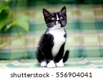 Stock photo black and white kitten 556904041