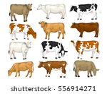 Stock vector dairy cattle set swiss brown ayrshire holstein milking white and brown shorthorns guernsey and 556914271