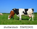 cows on a summer pasture | Shutterstock . vector #556922431