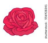 red rose flower isolated hand... | Shutterstock .eps vector #556928341
