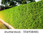 ornamental hedges in the park. | Shutterstock . vector #556938481