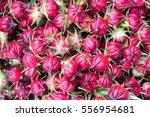 hibiscus sabdariffa or roselle...   Shutterstock . vector #556954681