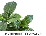 coffee plant bush on white... | Shutterstock . vector #556991539