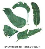 watercolor painting banana... | Shutterstock . vector #556994074