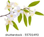 illustration with jasmin... | Shutterstock .eps vector #55701493