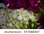 white dendrobium  orchid  ... | Shutterstock . vector #557088307