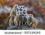 Meerkat  Surikate  Playing In...