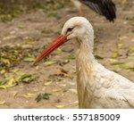birds   white stork  ciconia .... | Shutterstock . vector #557185009