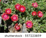 A Red Flowered Succulent Calle...
