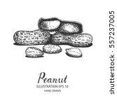 peanut hand drawn illustration...   Shutterstock .eps vector #557237005