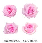 Stock photo pink roses on a white background isolated photo 557248891