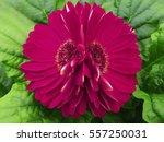 gerbera  flowers  pink crimson. ... | Shutterstock . vector #557250031