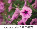 Beautiful Purple Petunias ...