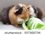 Two Guinea Pigs Are Eating...