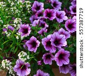 Small photo of Purple petunias and white alyssum in a window box or planter.