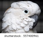 White Cockatoo Close Up