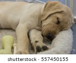sleeping puppy | Shutterstock . vector #557450155