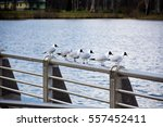Sex Seagulls Sitting On Metal...