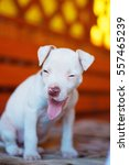 Small photo of the puppy laughs. AMERICAN PIT BULL TERRIER