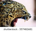 Leopard  Close Up Photo