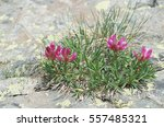 Small photo of Trifolium alpinum also known as Alpine clover.