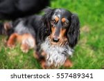 Miniature Dachshund Lawn Dog...