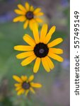 Small photo of Yellow flowers of rudbeckia Rudbeckia close up