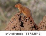 Dwarf mongoose sentinel on termite mound, Serengeti NP, Tanzania, East Africa - stock photo