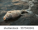 bloated  dead  poisoned fish... | Shutterstock . vector #557543341