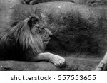 lion   Shutterstock . vector #557553655