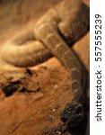 rattlesnake      Shutterstock . vector #557555239