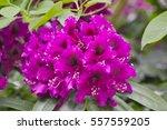 Purple Flowers With Black Eyes...