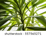 Green Leaf Yucca In Detail Nea...
