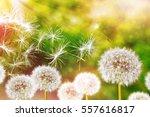 Fluffy Dandelion Flower Agains...