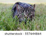A Cat On The Hunt In The Grass...