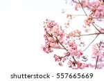 beautiful cherry blossom sakura ... | Shutterstock . vector #557665669