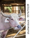 Small photo of pink body of albino asian white buffalo in farm in Thailand