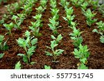 closeup of small  saplings in... | Shutterstock . vector #557751745