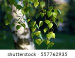 Young Juicy Green Leaves On Th...