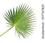 close up of palm leaf   Shutterstock . vector #557767825