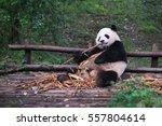 Giant Panda Eating Bamboo Lying ...