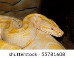Albino Royal Phyton  Python...