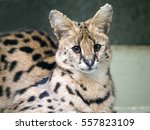Portrait Steppe Cats   Serval ...