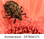 The Brown Stink Bug Is...