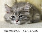 Stock photo blue kitten of siberian breed 557857285